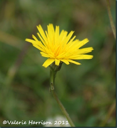 26-hawkweed