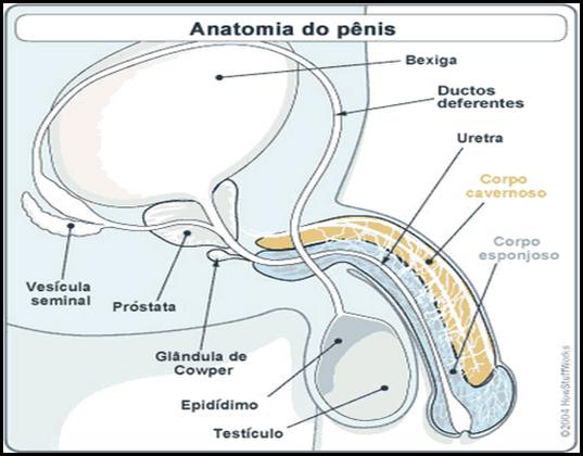 viagra-anatomy