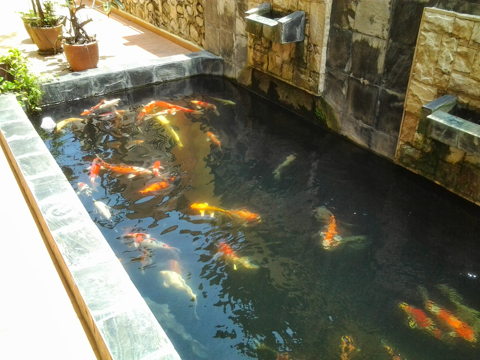 Kenlaw koi for Koi pond system