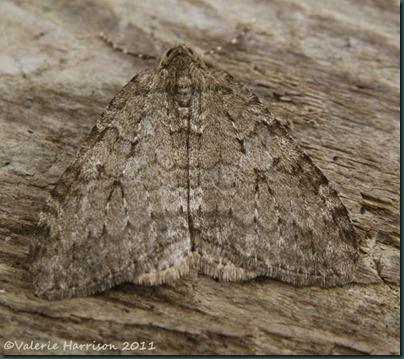 november-moth-2