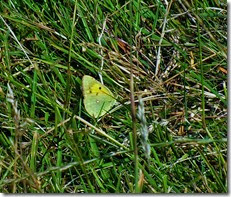 clouded yellow Rhossili August 2014