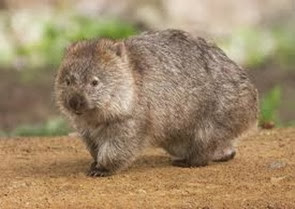 Amazing Pictures of Animals, Photo, Nature, Incredibel, Funny, Zoo, Common wombat, Vombatus ursinus, Marsupial, Mammals, Alex (4)