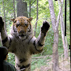Fully standing tiger