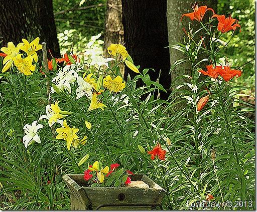 Lilies_WoodlandBed