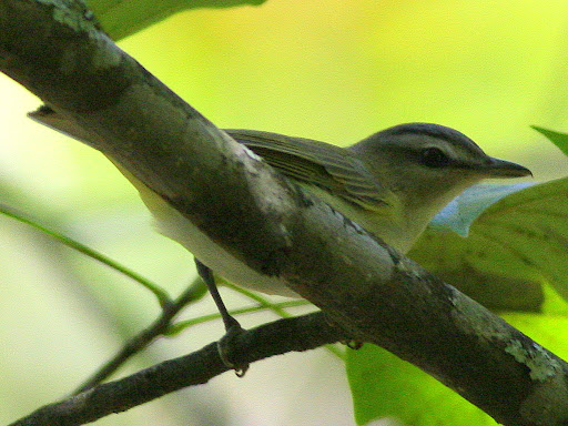 9-22-09, Woods by our creek, juvenile Red-eyed Vireo, 1:55 p.m.