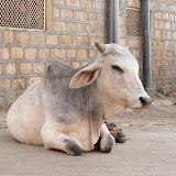 Sacrée belle vache