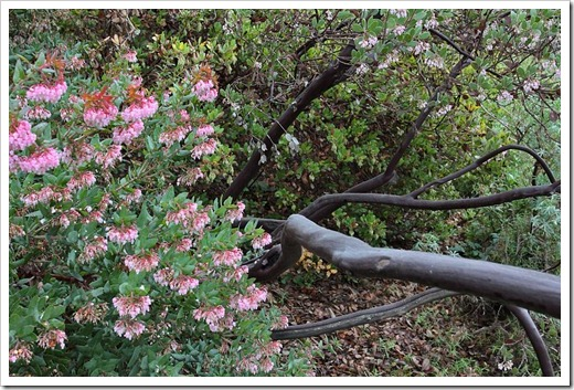 120211_UCSC_Arboretum_Arctostaphylos pajaroensis Brett's Beauty_01
