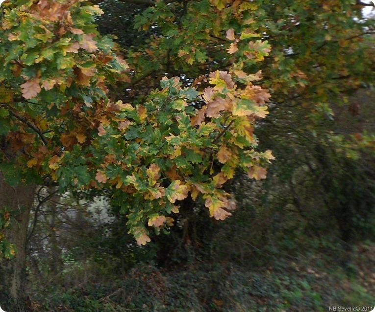 SAM_0004 Oak Leaves