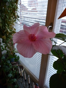 027 Hibiscus rosa enkel Daniel Grankvist