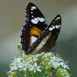 Butterfly beauty by Kerry Cooper - Animals Insects & Spiders