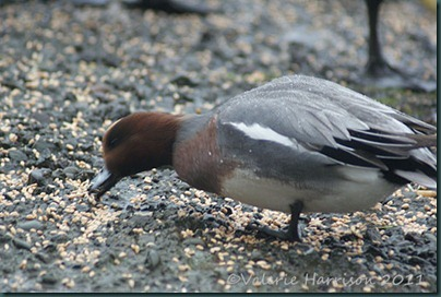 36-wigeon