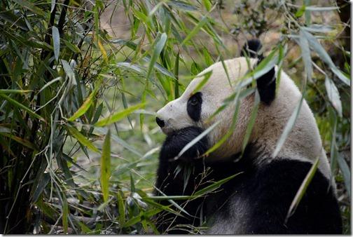 DSC_7095LR_Pandas