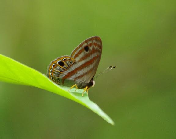 Riodinidae : Euselasia euryone (HEWITSON, 1856). Crique Yaoni (sentier 2) près des Carbets de Coralie, 31 octobre 2012. Photo : J.-M. Gayman