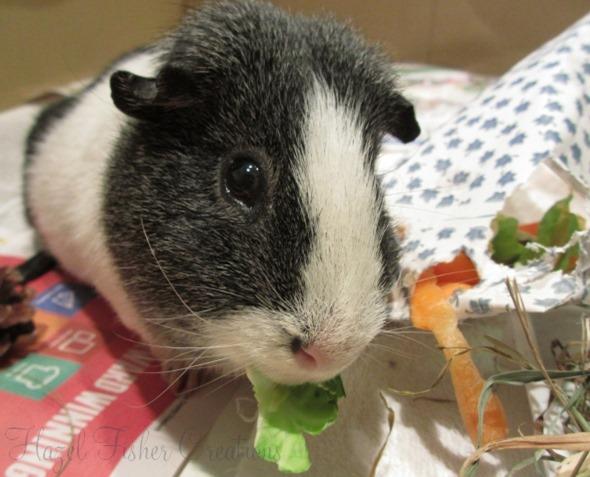 2014Jan19 Basil guinea pig