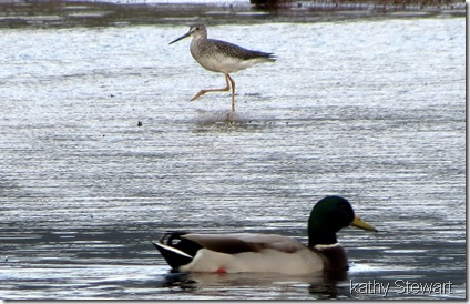 Greater Yellowlegs and Mallard