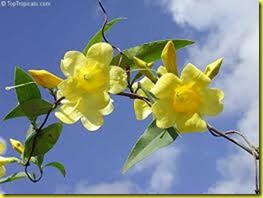 yellow jasmine 2