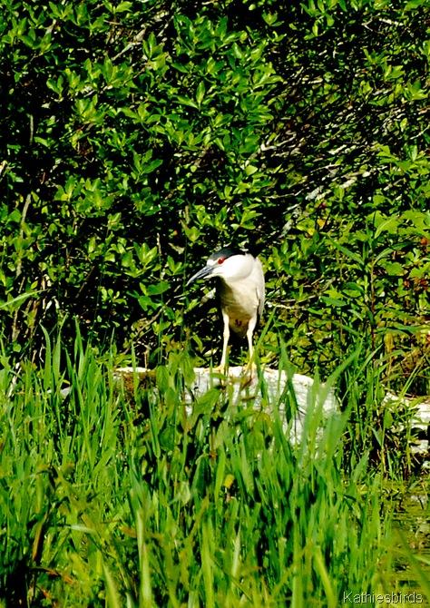 12. black-crowned night heron-kab