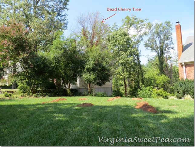 View of Dead Cherry Tree