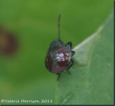 shieldbug Picromerus bidens 2