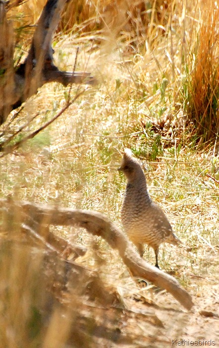 5. scaled quail-kab