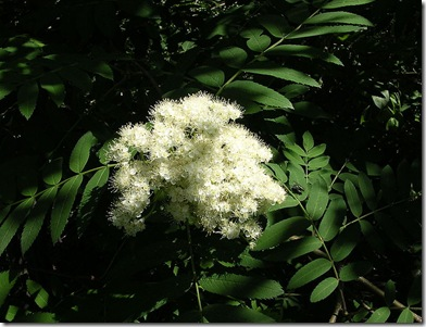 800px-Rowan_flowers-oliv