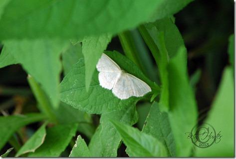 cr-Pale-Beauty-Moth