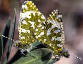 Amazing Pictures of Animals, Photo, Nature, Incredibel, Funny, Zoo, Euchloe tagis, Butterflies, Portuguese Dappled White, Alex (9)