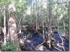 Swamp and Cypress Knees