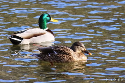 Mallard Ducks in the sun