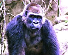 gorille des plaines de l'ouest