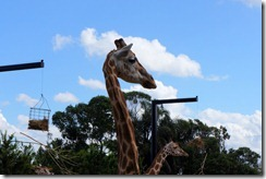 Giraffes, Taronga Zoo
