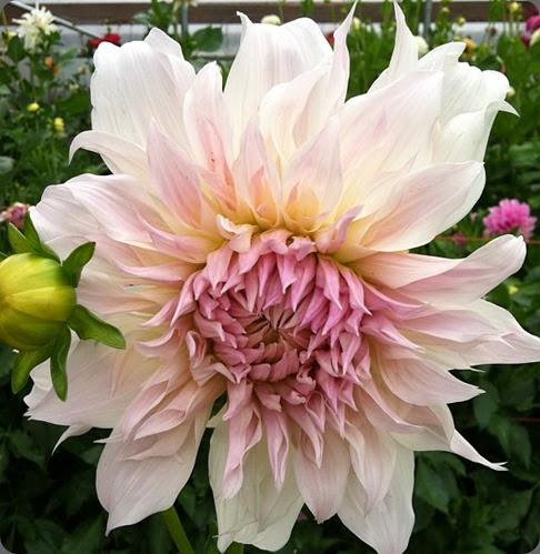 varieties 995773_372017362926460_39912267_n 'Shiloh Noel' dahlia Floret Flower Farm
