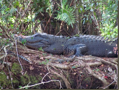 mama gator and two babies