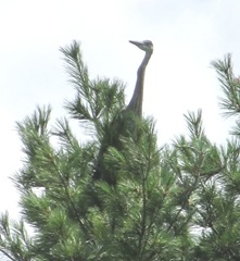 great blue heron 7.30.13 young one on pine tree learning to fly3