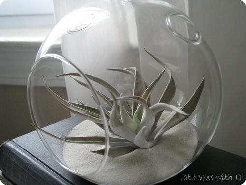 airplant_closeup_athomewithh