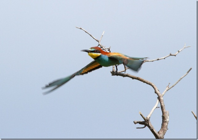 bee-eater3