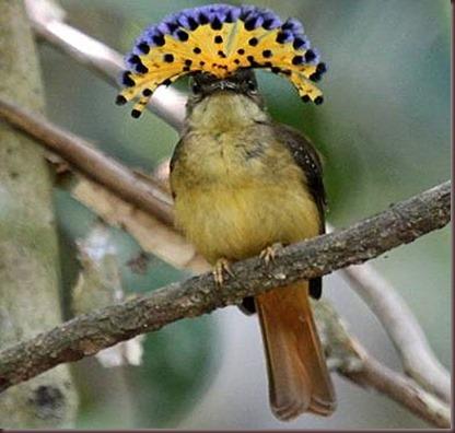 Amazing Animal Pictures Amazonian Royal Flycatcher (4)