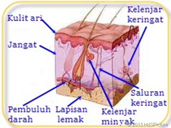anatomi kulit Bahasa Indonesia