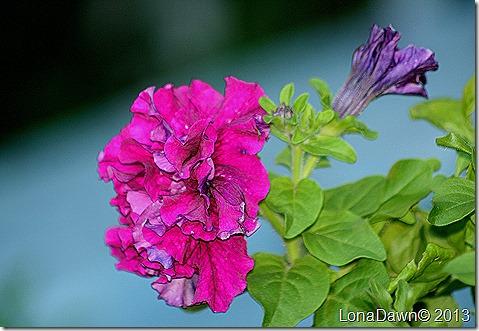 Petunia_DoubleBurgundy_Cascades