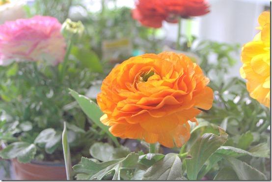 tangerine ranunculus