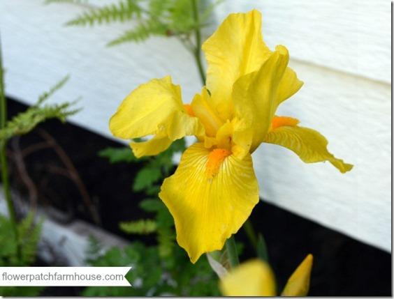 bright yellow iris