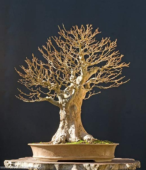 bonsais arvores em miniatura desbaratinando (90)