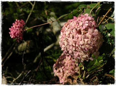 12 hortensia mini