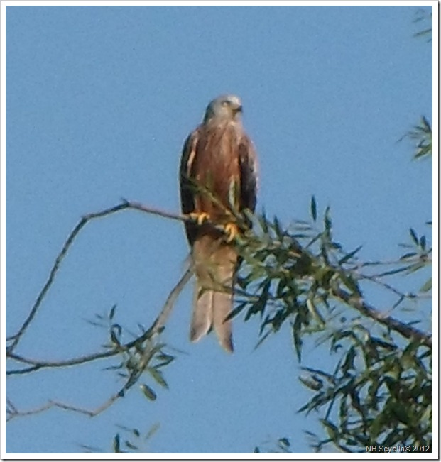 SAM_1762 Red Kite