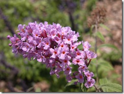 Yep, Butterflies Love Butterfly Bush (buddleia Sp.) But Should You Include  It In Your Butterfly Garden? If You Live In The Tampa Bay Area Of Florida,  ...