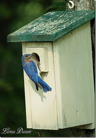 Bluebird_House
