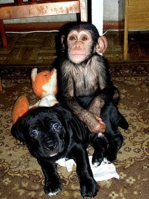 Chimpanzee Adopted By a Mastiff 015