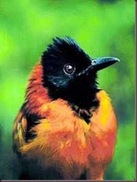 Amazing Pictures of Animals Pitohui Poisonous Bird. Alex (4)