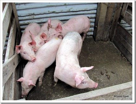 Porkers for fattening.