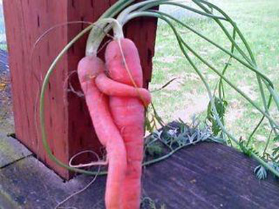 Carrot Love